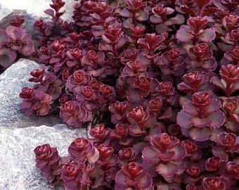 50 Heirloom Sedum Seeds - Voodoo - Perennial Groundcover, Heirloom Sedum Seed, Voodoo Seeds, Voodoo Sedum, Red Sedum Seeds- Heirloom Non-GMO