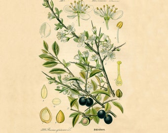 Olive botanical print Botanical poster Vintage botanical illustration Botanical wall art Olive tree