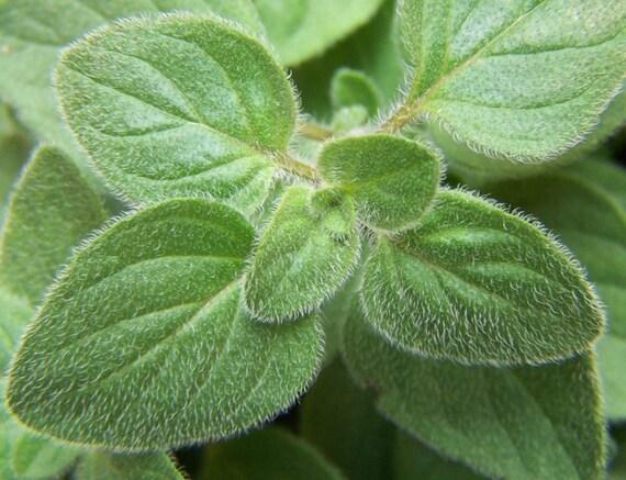 Italian Oregano Seeds Also Know As Wild Marjoram Origanum