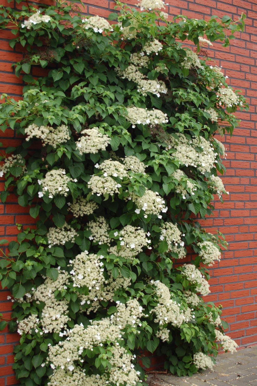 Climbing hydrangea seeds hydrangea anomala petiolaris - Hydrangea petiolaris ...