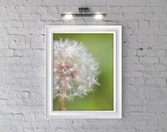 White Dandelion: Macro Photography