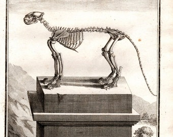 1761 Jaguar Skeleton Anatomy Antique Animal Print Copperplate Engraving Nature  Quarto Buffon
