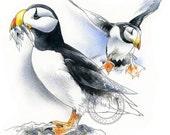 Alaskan Puffins watercolour - bird wildlife art - nature print of original artwork