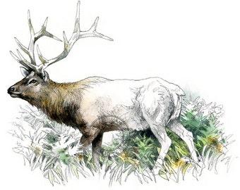 Elk, bull watercolour - wildlife art - nature print of original artwork