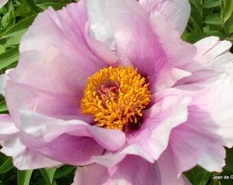 Digital File Peony Tree (Paeonia)  Rockii Flower Card