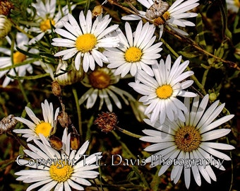 Lazy Daisies - High Quality Photographic Print
