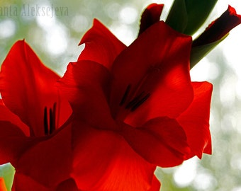 Red Gladiolus - Fine Art Photography - 8x12 inches - wall art - home decor - gladiolus photo - red - gladiolus art photo - fine art print