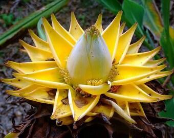 20 Musella lasiocarpa,Chinese Yellow Banana.  golden lotus banana Seeds