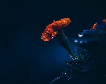 "Home Decor: Photography Print ""Midnight's Flower"""