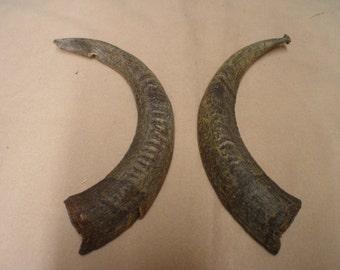 """12"""" goat horns.. crafts or decoration! (#525)"""