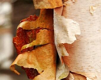 Birch Bark Photo, Art Gift, Fine Art Wall Decor, Landscape Wall Art, Nature Photography, Tree Photography, Birch Tree Art, Maine Landscape