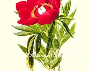 "Botanical Print. Peony #2. Red Flower Print. Peony Print. 5x7"", 8x10"" 11x14"""