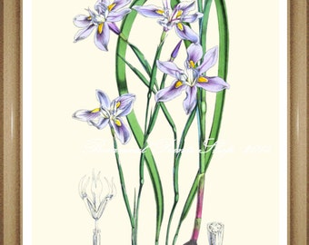 "Iris Print #2. Botanical Print. Floral Wall Art. Iris. 8x10"" 11x14"""