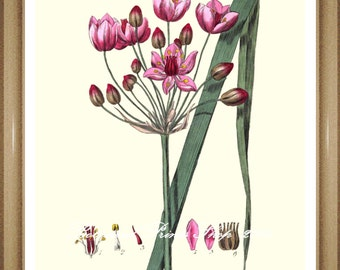 "Botanical Prints. Wildflower print. Pink flower print.  5x7"", 8x10"", 11x14"""