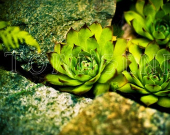Hens and Chicks-Color Photography, Succulents, Stone, Green, Art, Garden