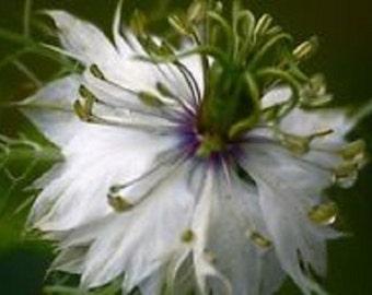 Nigella White Love In A Mist Flower Seeds / Miss Jekyll / Annual   100+