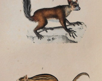 1833 The Swiss Squirrel & the Aye-Aye. Antique Handcolored Lithograph. Original. Natural History