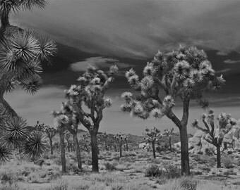 "joshua tree national park fine art print, desert, joshua trees, black & white landcape, california, palm springs, "" family of joshua"""