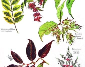Flower Print - Genera Ligustrum, Leucothoe, Leptospermum, Leycesteria -Flowering Plants - Botanical Print -1965 Gardening Book Page - 11 x 8