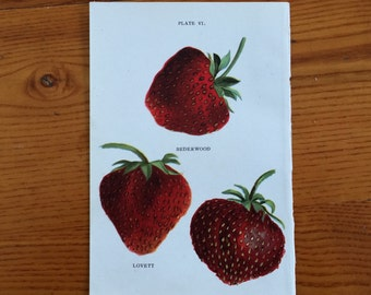 1913 strawberry berries berry fruit print original antique miniature botanical print - strawberries pl 6 - rederwood lovett climax