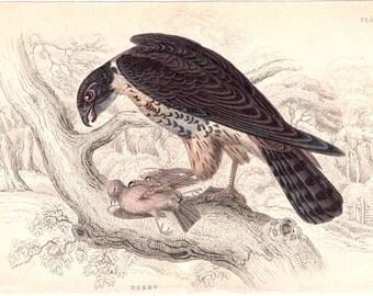 1838 FALCON BIRD print original antique ornithology hand colored engraving - HOBBY