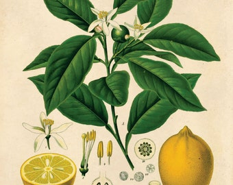 Lemon Botanical Poster Print. Vintage Botanical Reproduction Poster - Educational Chart Diagram Chart from Kohler's Citrus Tree - CP236