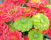 Zinnias Exclusive Custom Mix Coral and Lime Envy Green Heirloom Annuals Cutting Garden Cut Flower Seeds