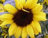 Dwarf Sunflowers Incredible Annual Cutting Garden Fresh Flower Bouquets Rare Seeds