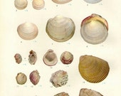 Vintage Sea Shells Print 54, antique lithograph