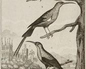 1835 Antique print of PARADISE BIRDS. Hummingbirds.Tropical Birds. Exotic Birds. Ornithology. 181 years old rare Buffon copper engraving