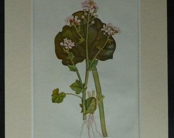 1920s Vintage Botanical Print of Common Scurvy Grass Coastal wildflower decor, seaside flower art