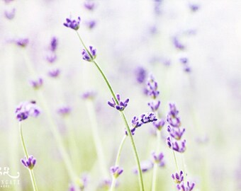 Lavender Photo Print - flower photography, spring, botanical, summer, calming wall art, farmhouse style, gifts for her, easter, wall decor