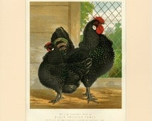 "1873 Matted Antique Chicken Print ""Black Frizzled Fowls"" First Edition by Wright, Ludlow Illustrated Book of Poultry 11x14"" Gift Idea"