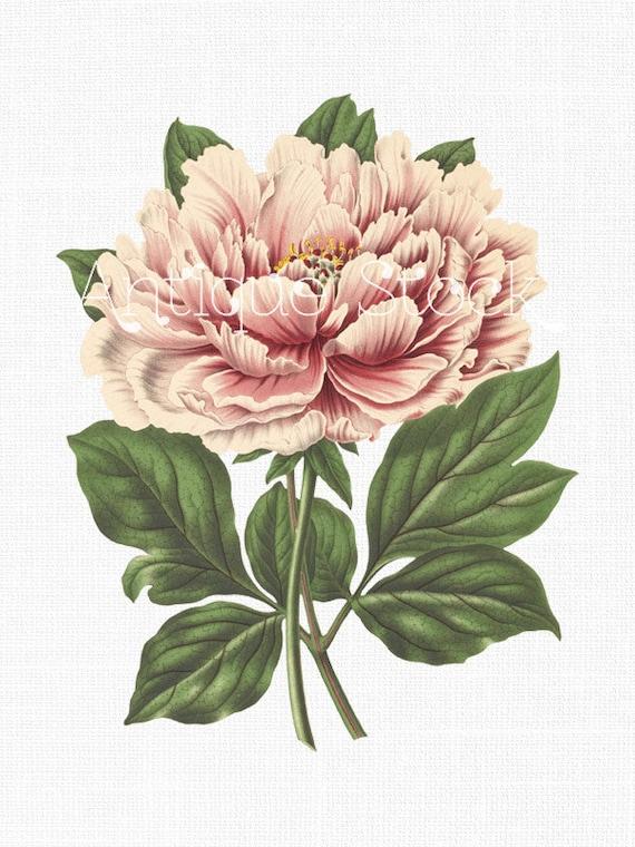 Vintage Peony Illustration Peony Flower 'Pink Tre...