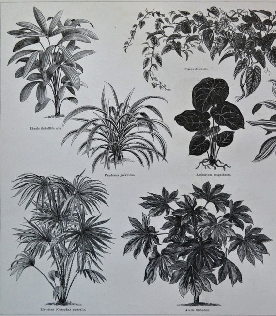 Plants sheets. Botany print. Old book plate, 1890. Antique illustration. 125 years lithograph. 9'4 x 11'7 inches.