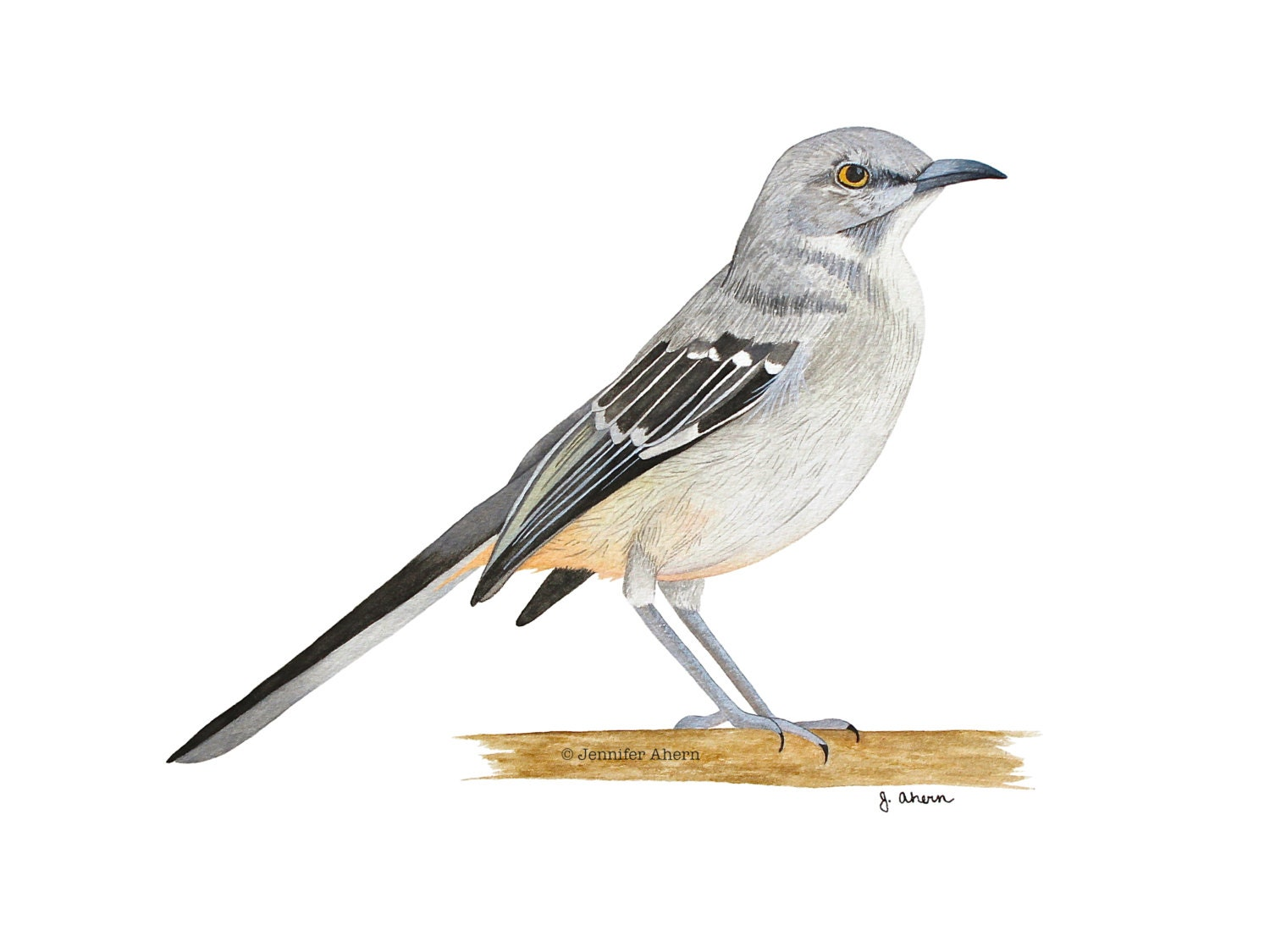 Northern Mockingbird Watercolor Bird Painting By