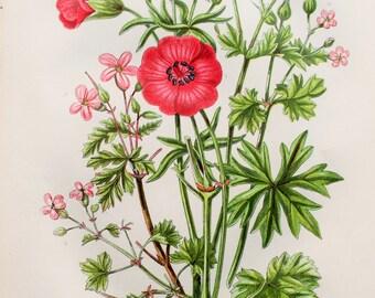 Anne Pratt Antique Botanical Print - Herb Robert, Crane's Bills (53)