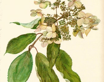 Gorgeous VINTAGE SHRUB Print Hydrangea Vintage 1969 Botanical Print Flower Gallery Wall Art Home Decor (Shrub 20)