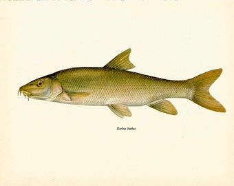 VINTAGE FISH Art PRINT The Barbel Vintage 1972 Print Beautiful Home Decor Antique Gallery Wall Print (fwf 33)