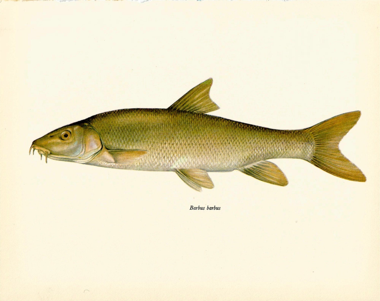 Vintage fish art print the barbel vintage 1972 print beautiful for Barbel art