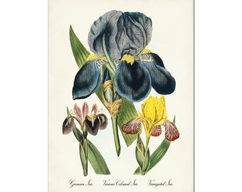 Iris Art Print, Botanical Poster, Botanical Art Print, Floral Art, Garden Art, Wall Hanging, Iris Print, Botanical Wall Art, Gift for her