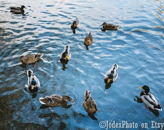 Fine Art 'Ducks' Swimming on Water Photograph Print 7x5, 8x10 or 20x16 Wall Art Home Decor
