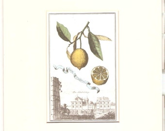 Antique Lemons hand coloured engraving c.1830s
