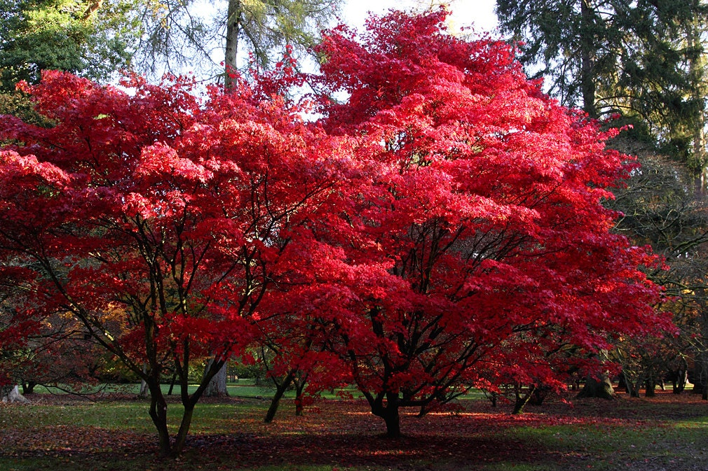 acer palmatum red blood japanese maple absolutely hardy. Black Bedroom Furniture Sets. Home Design Ideas