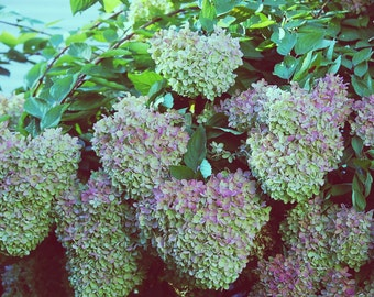 Hydrangea, Outdoor Photography, Autumn, Nature Photography, Fall, Flowers