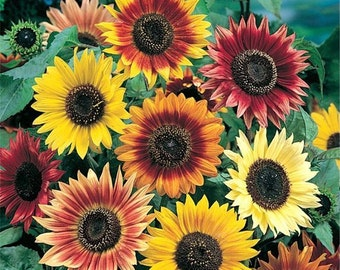 300 Seeds Sunflower Seeds Autumn Beauty Mix