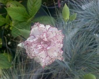 50 Seeds Raspberry Ripple Carnation Seeds