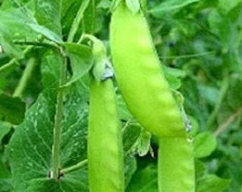 100 Snow Pea Seeds Oregon Giant Sugar Pod Peas