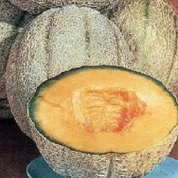 200 CANTALOUPE SEEDS Planters Jumbo Melon Planters Cantaloupe on jumbo candles, jumbo toys, jumbo wall art,