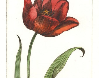 Tulip. Etching and watercolor. Botanical print. Original hand pulled print.
